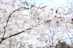 諏訪湖の桜3