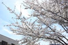 諏訪湖の桜2