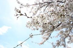 諏訪湖の桜4