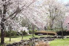 諏訪湖の桜1