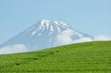 静岡県大淵笹場の茶畑で