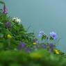 礼文島の花_1