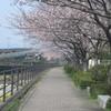 大宰府の御笠川と桜 ①