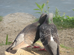 愉快な2羽のハト ①