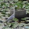 大濠公園の池のサギさん