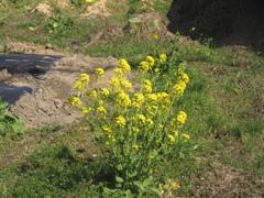 田舎に咲く菜の花