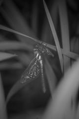マルタンメス羽化モノクロ-2216