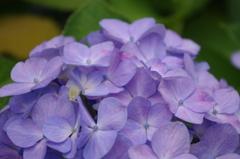いつかの紫陽花