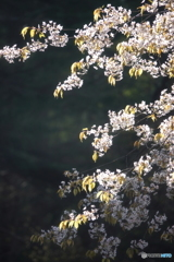 今シーズン最後の桜