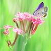 蝶の世界 ~ツバメシジミ