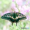 Fairy butterfly.