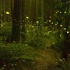 ヒノキ林のヒメボタル