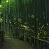 姫舞う竹林の小路