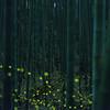 竹藪のヒメボタル