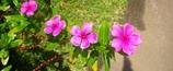 沖縄の花 その7