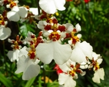 沖縄の花 その9