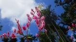 沖縄の花 その4