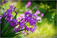 紫蘭微笑む草むら