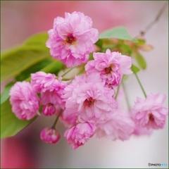 桜のお菊さん
