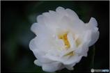 ふんわり真白き山茶花