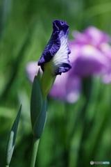 花しょうぶのつぼ美