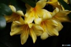 幸せを呼ぶ黄色い君子蘭♫•*¨*•.¸¸♪