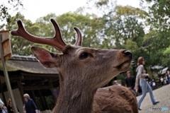 人気者の鹿さん