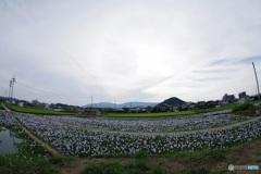 本薬師寺跡ホテイアオイの咲く風景〈西〉