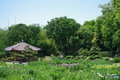 城北菖蒲園、まだ一部咲き
