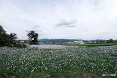 本薬師寺跡ホテイアオイの咲く風景〈東〉