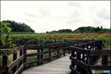 上池堤の彼岸花