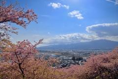 大井松田の河津桜