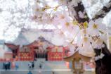 花園神社に桜咲く