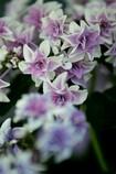 風変わりな紫陽花 1