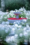白薔薇の中で