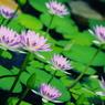 glasslily