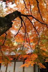 中尊寺金色堂の紅葉