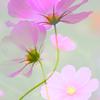秋桜の淡き思い出