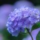 ほっこり紫陽花