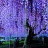 夜の藤の花
