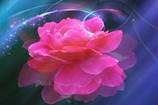 Pink Roseを君に。。