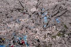 桜のテント