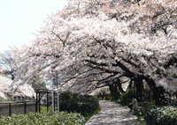 サクラ並木