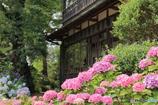 紫陽花が咲く庭