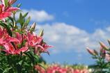 百合の花園