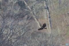 冬枯れの森の若鷹