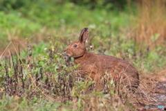 ひょっこりノウサギ