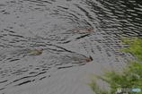 サルたちの水泳大会
