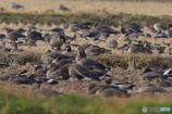 蕪栗沼の鳥たち シジュウカラガン