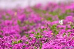 蝶々も芝桜見物